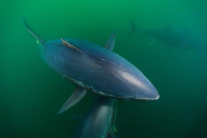 Fotografia de atuns-rabilhos no Canadá