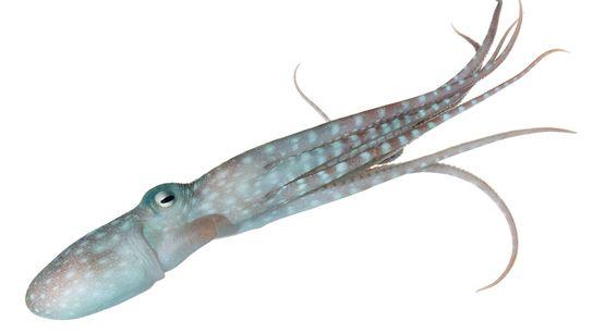 polvo Callistoctopus alpheus