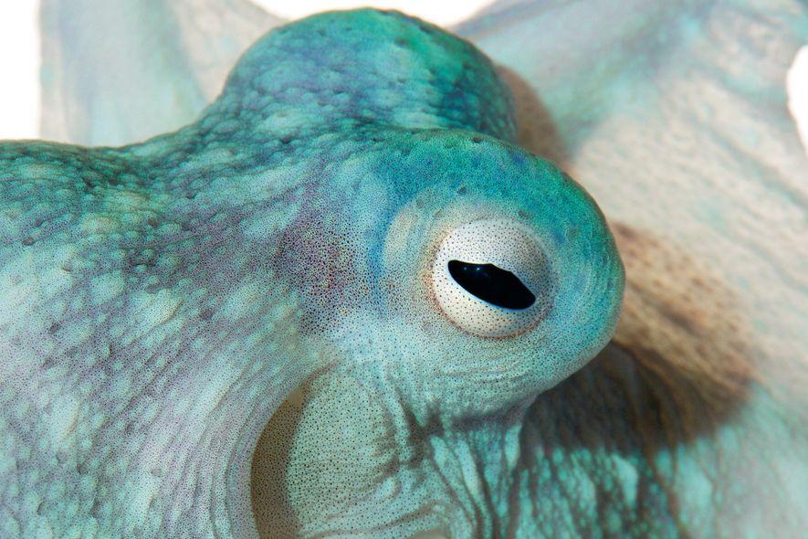 As manchas deste polvo, o Callistoctopus alpheus, são células carregadas de pigmento. Se o animal as ...