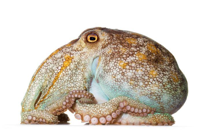polvo-pálido Octopus pallidus