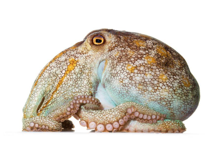 Troncudo, com um corpo volumoso e braços relativamente curtos, o polvo-pálido (Octopus pallidus) vive nas águas ...
