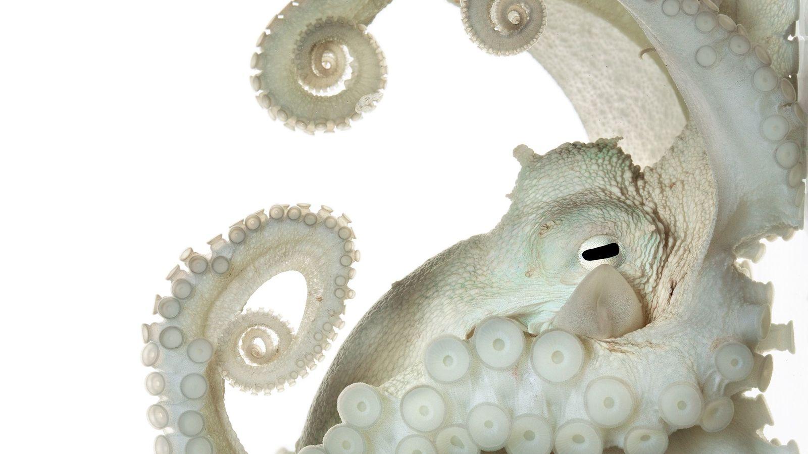 polvo comum Octopus vulgaris