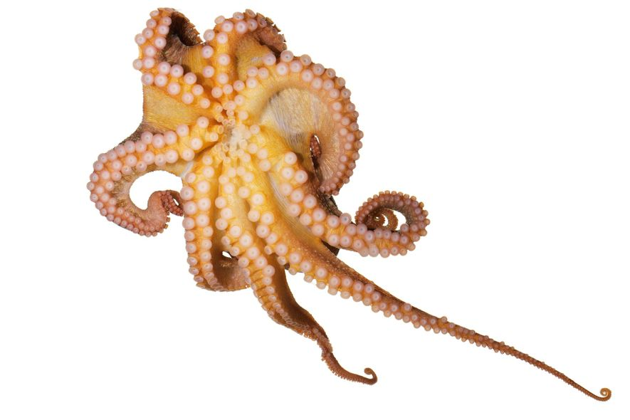 Um polvo-vermelho, Octopus rubescens, exibe as ventosas. Podem ser controladas de maneira independente, e dobradas e ...