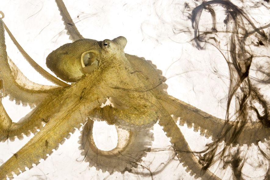 Este polvo-alga, Abdopus aculeatus, acabou de libertar tinta. Os polvos libertam tinta quando se sentem ameaçados; ...