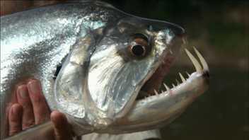 Peixe-vampiro