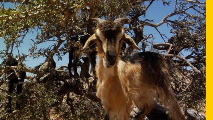 As Cabras Trepadoras de Árvores em Marrocos