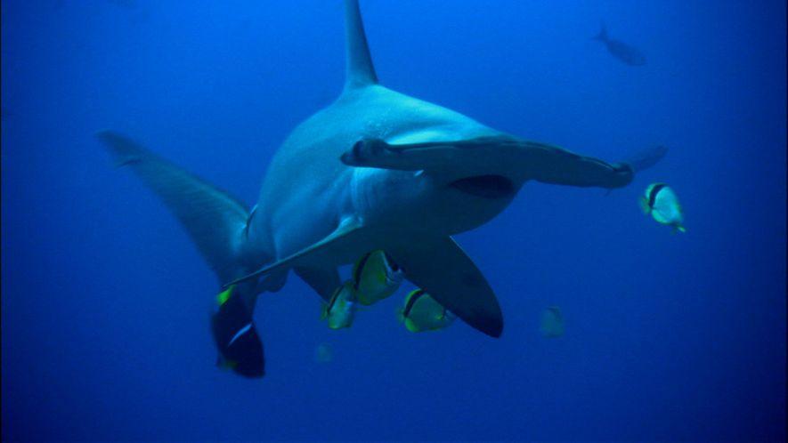 As Vantagens da Estranha Cabeça dos Tubarões-martelo