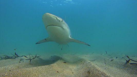 Há Menos Tubarões-de-Pontas-Negras a Migrar Para a Flórida