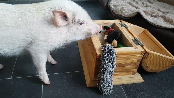 Observe Este Porco a Tratar da Roupa e a Arrumar Brinquedos
