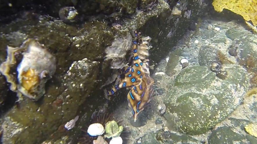 O Polvo de Anéis Azuis é Um dos Mais Mortais do Oceano