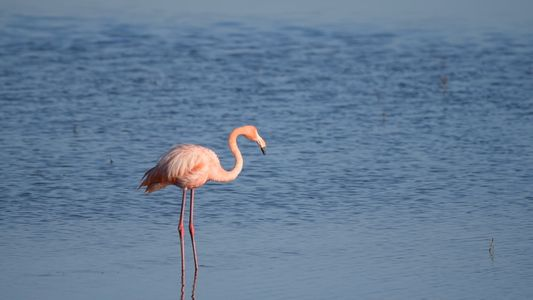 Flamingo Aparece Misteriosamente em Pântano de San Diego, Longe de Casa