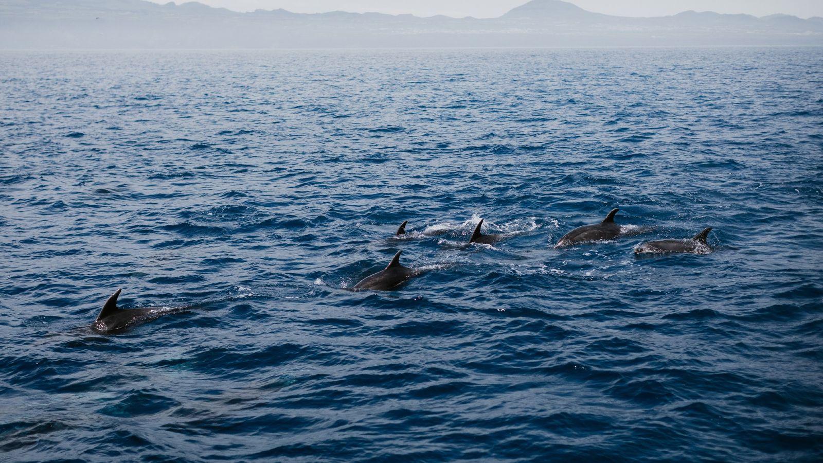 Golfinhos na Ilha do Pico