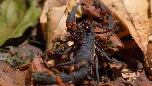 As Formigas-legionárias Comem Tudo