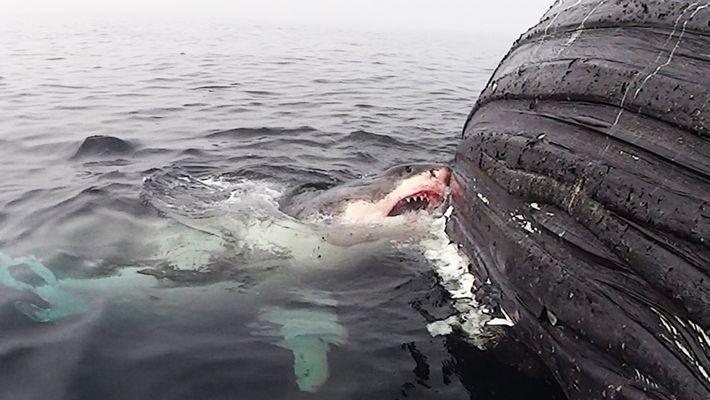 Veja: Grande Tubarão Branco Come Baleia Morta