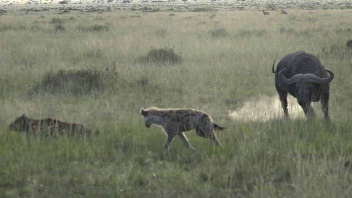 Veja Como Uma Manada de Búfalos Protege Um Bezerro de Hienas