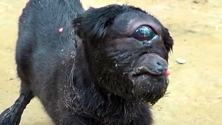 Nasceu Uma Cabra Ciclope na Índia