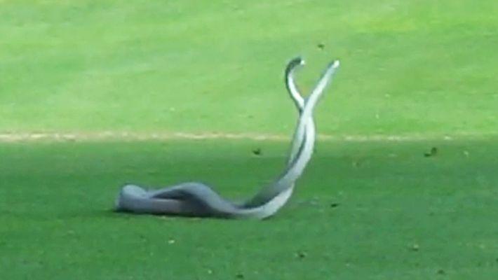 Veja a Luta Entre Duas das Serpentes Mais Mortíferas do Mundo