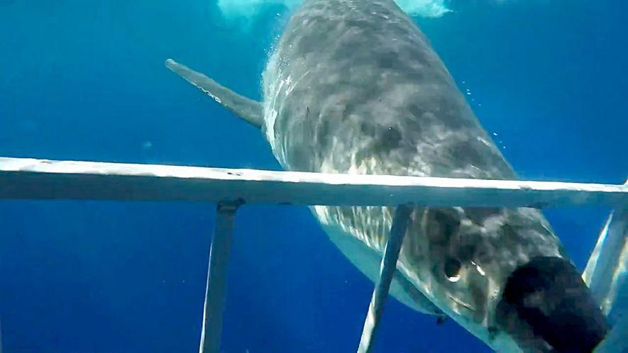 Porque é que Um Tubarão com Mais de 2 Metros Saltou Para Um Barco de Pesca?