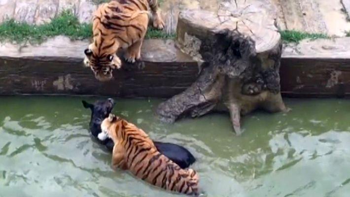 Um Burro É Atirado aos Tigres num Zoo na China