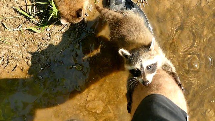VÍDEO: Guaxinins Bebés Adotam Pescador