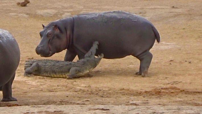 Veja um Jovem Hipopótamo a Arriscar Brincar com um Crocodilo