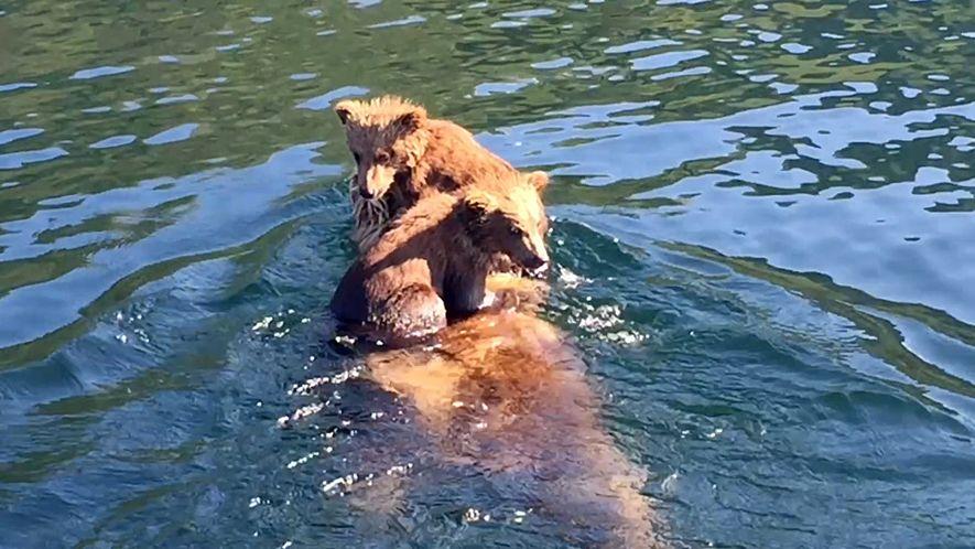 Duas Adoráveis Crias de Urso Pardo Atravessam Rio à Boleia da Mãe