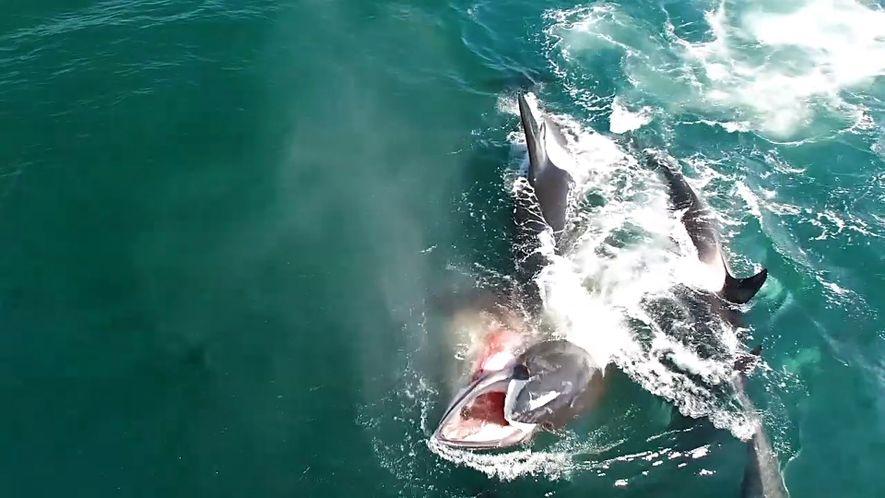 Grupo de Orcas Caça Baleia em Imagens Raras
