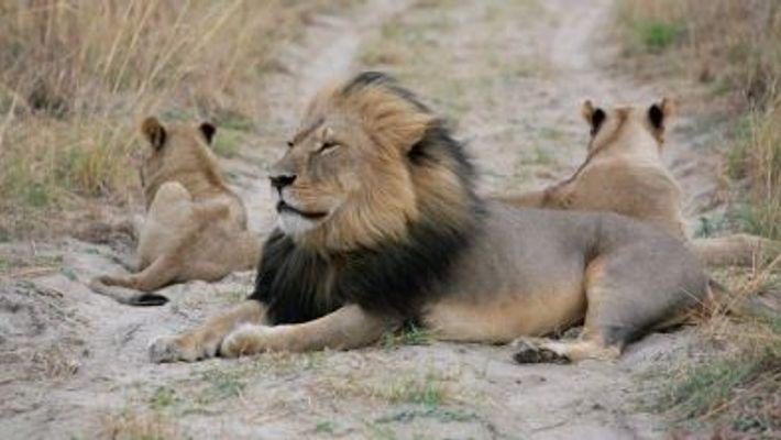 O Filho do Leão Cecil Também Foi Morto Por Caçadores de Troféus.