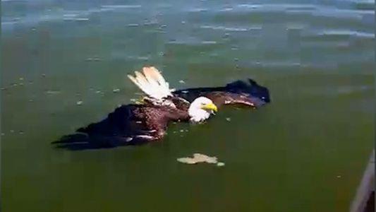"""Veja: Águia-careca """"Nadadora"""" Salva por Espetadores"""