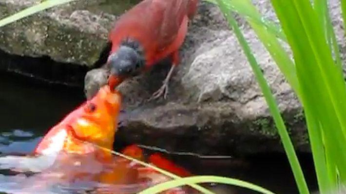 Porque Está Este Pássaro a Alimentar Peixes-Dourados?