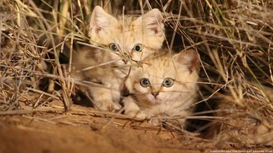 Veja Estas Crias de Gatos-do-Deserto Enternecedoras