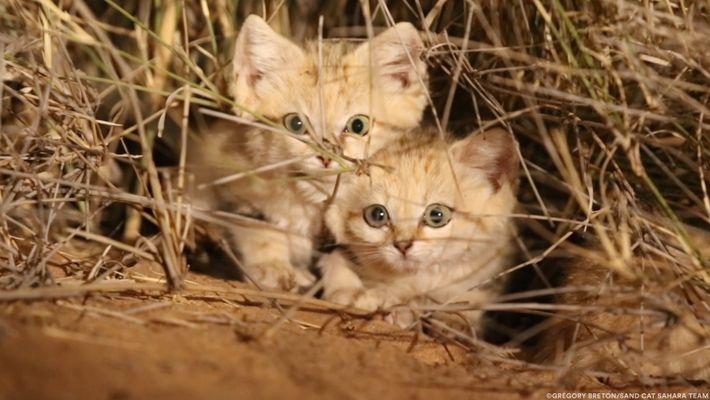 Pequenas Crias de Gatos-do-Deserto Filmadas Pela Primeira Vez em Meio Selvagem