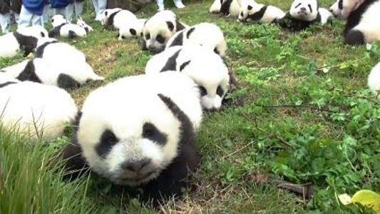 Recorde: Já Nasceram 42 Pandas em Programas de Reprodução este Ano