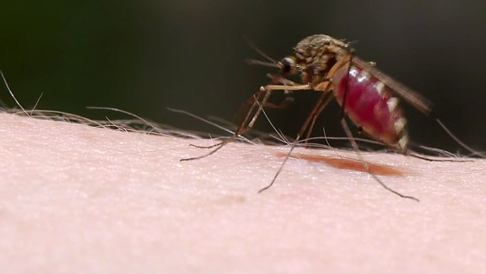 Como os Mosquitos Usam a Furtividade Para roubar o Seu Sangue