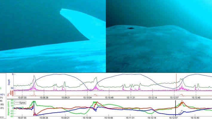 Descoberta: As Baleias-Azuis São na Sua Maioria Canhotas