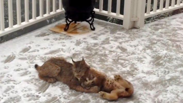 Novas Imagens Mostram Mãe Lince a Brincar na Neve