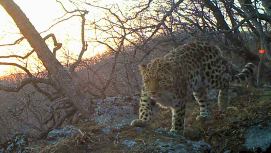 Foi gravado, pela primeira vez em estado selvagem, o chamamento do grande felino mais raro do …