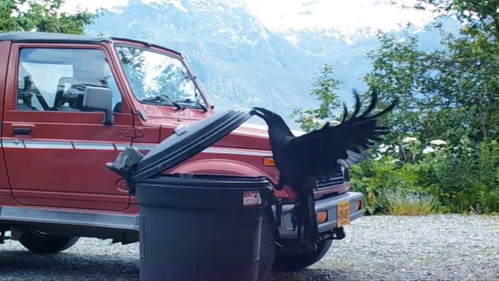 Veja: Corvo Vence Contentor de Lixo