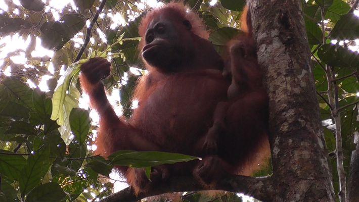 Orangotangos Amamentam As Suas Crias Durante Muito Mais Tempo Que o Normal