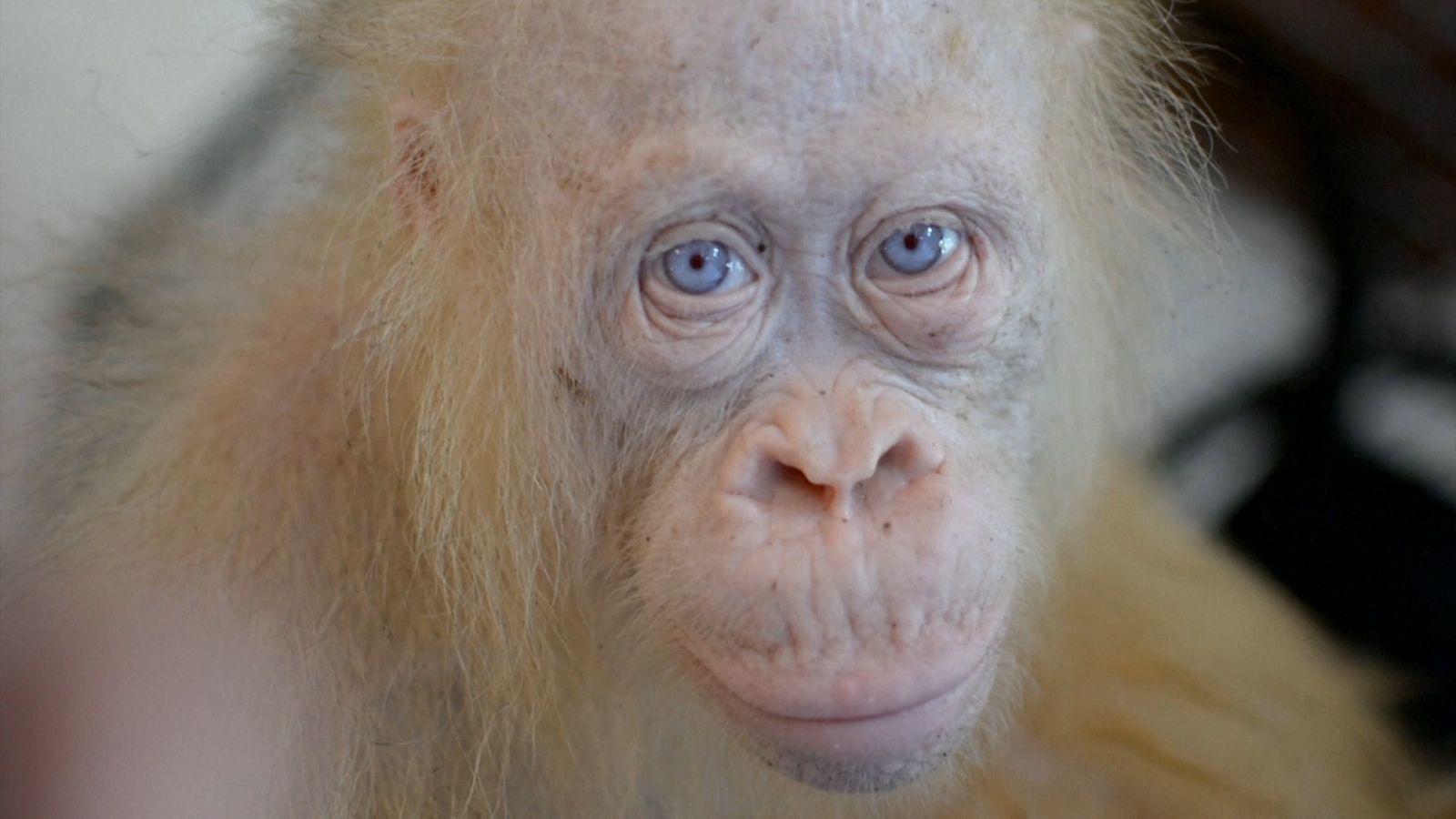 Raro Orangotango Albino