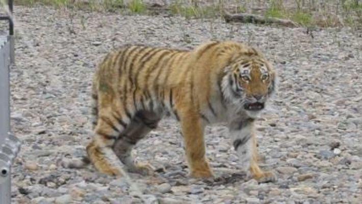 O Tigre 'da Cidade' que Regressou à Natureza