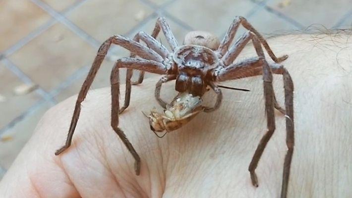 Veja uma Aranha Gigante a Devorar um Grilo na Mão de um Homem