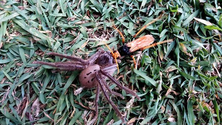 A Luta por Comida entre uma Vespa e uma Aranha