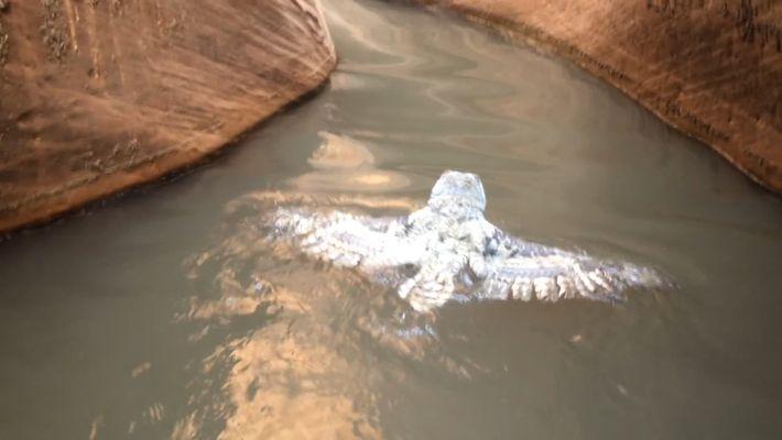 Veja uma Coruja a 'Nadar' Pela Sua Vida