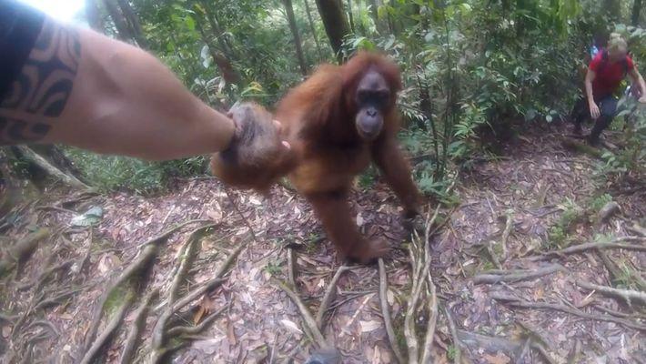 Um Orangotango Apegado a Uma Turista