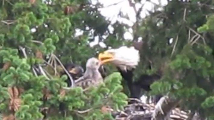 Normalmente Inimigos, Estas Águias Carecas Adoptaram Um Búteo-de-Cauda-Vermelha