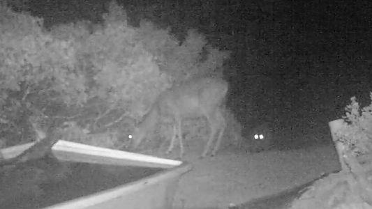 Veja o Vídeo Raro de um Puma a Caçar um Veado