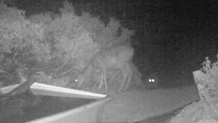 Vídeo Noturno Capta o Ataque de Um Puma a um Veado
