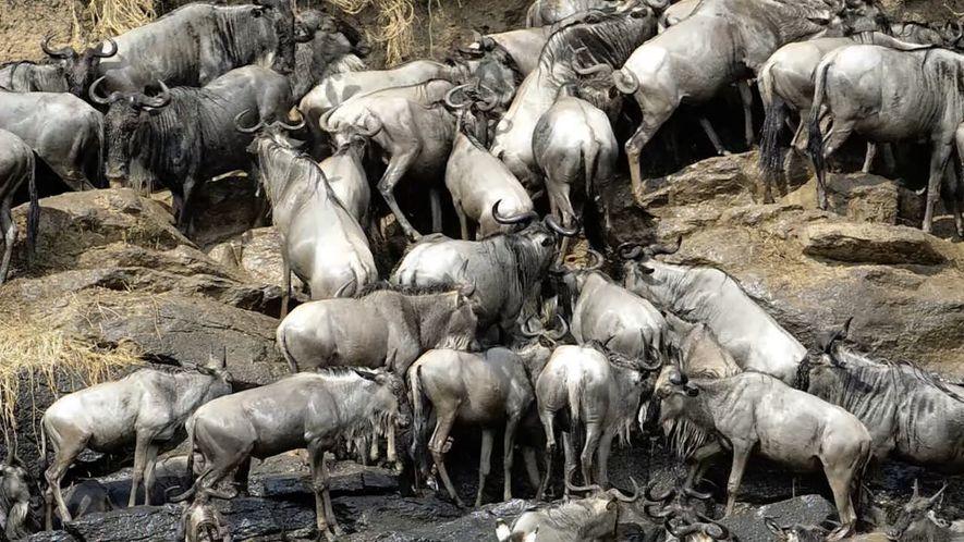 Como Quase 1 Milhão de Carcaças de Gnu Ajuda o Serengeti