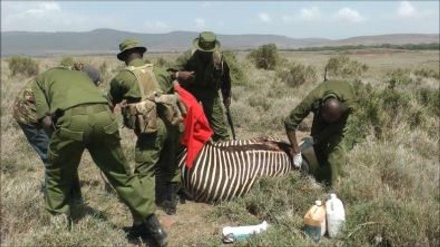Uma Zebra Rara é Salva Após Ataque Feroz